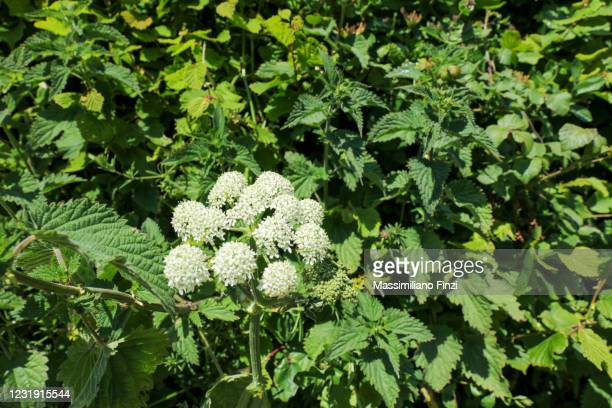white wild flower wild angelica (angelica sylvestris) - exotic_species stock pictures, royalty-free photos & images