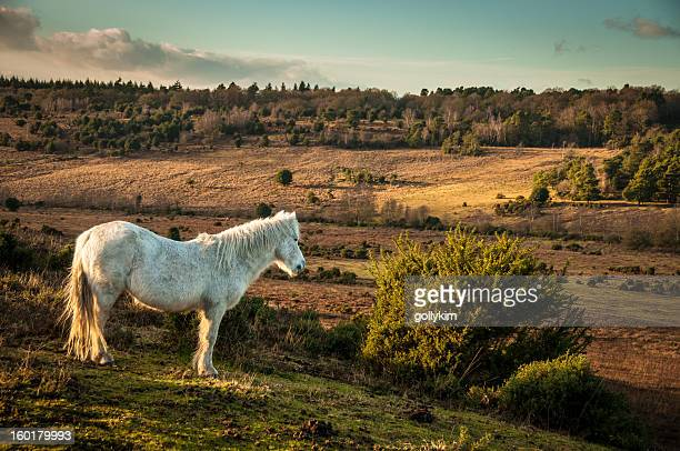 white wild horse, the new forest, england - pony stock pictures, royalty-free photos & images