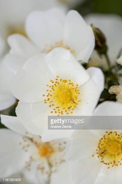 white wild rose - andrew dernie stock pictures, royalty-free photos & images