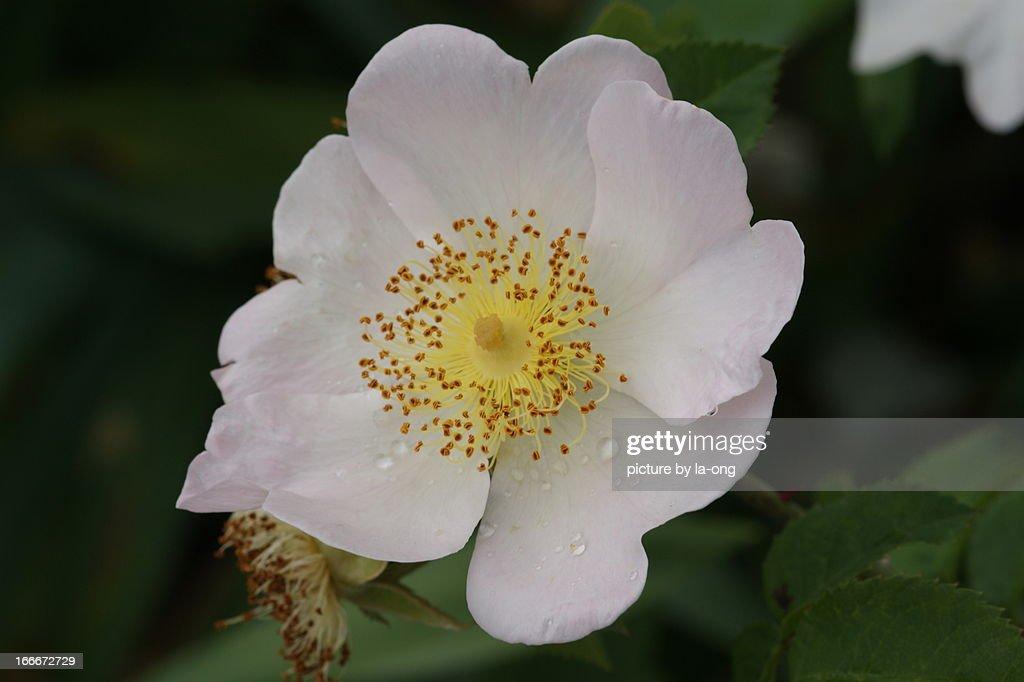 white wild rose : Stock Photo