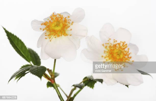 White Wildflowers (UK) Dog Rose (Rosa canina)