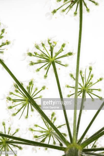 white wildflowers (uk) giant hogweed (heracleum mantegazzianum) - giant hogweed - fotografias e filmes do acervo