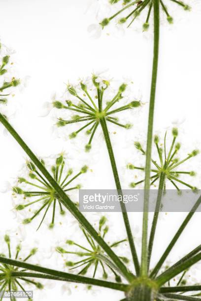 white wildflowers (uk) giant hogweed (heracleum mantegazzianum) - giant hogweed stock pictures, royalty-free photos & images