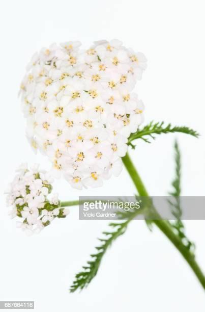White Wildflowers (UK) Yarrow (Achillea millefolium)