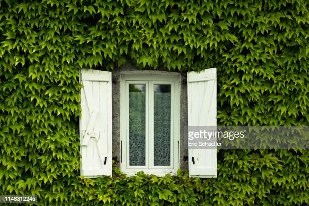 white window in a virginia creeper wall - edera foto e immagini stock