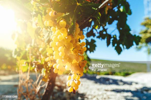 white wine grapes in vineyard on a sunny day - chardonnay grape - fotografias e filmes do acervo
