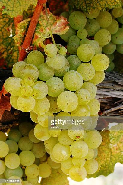 white wine grapes - chardonnay grape stock photos and pictures
