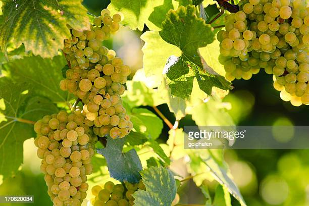 white wine - chardonnay grape stock photos and pictures