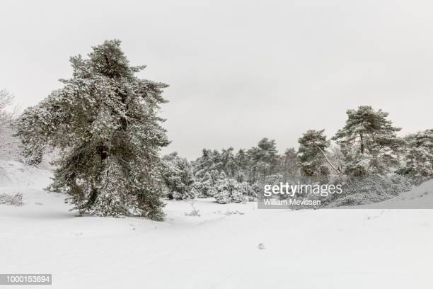 white winter boshuizerbergen - william mevissen stock pictures, royalty-free photos & images