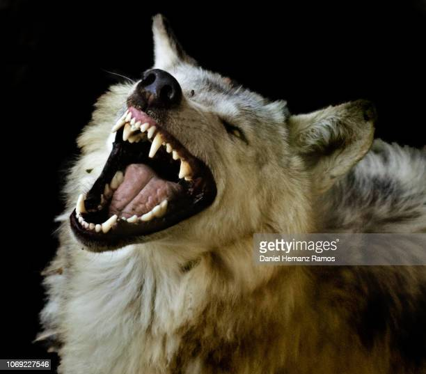 60 Top Wolf Teeth Pictures, Photos, & Images - Getty Images