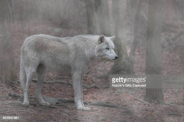 white wolf full profile fog - loup blanc photos et images de collection