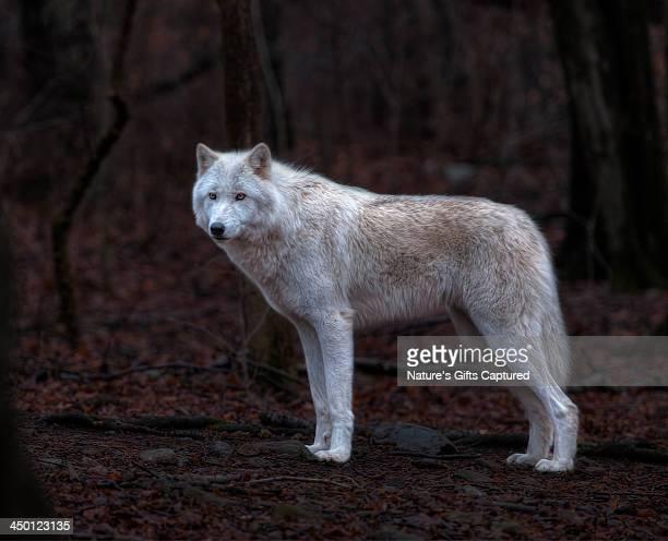 white wolf ~ hdr - loup blanc photos et images de collection
