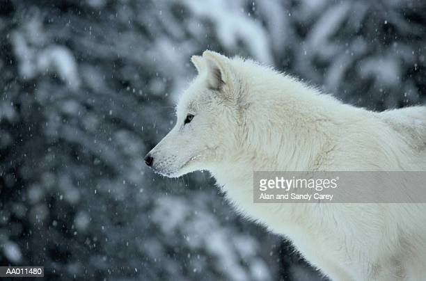 white wolf (canis lupus) in snow, close-up, profile - loup blanc photos et images de collection