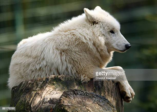 A white wolf is seen at the Wuppertal Zoo on April 8 2009 in Wuppertal Germany