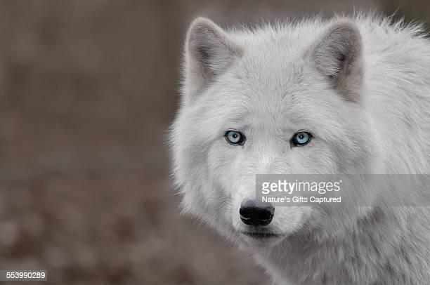 white wolf light blue eyes head shot - blaue augen stock-fotos und bilder