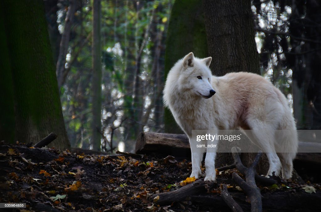 white wolf looking : Stock Photo