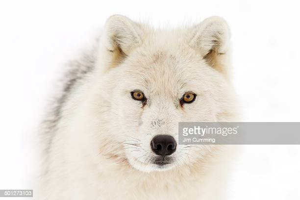white wolf - arctic wolf stock photos and pictures