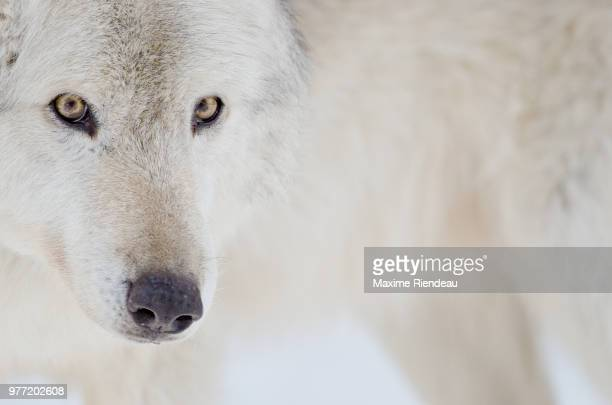 white wolf portrait - loup blanc photos et images de collection