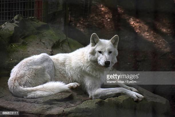 white wolf resting on rock - loup blanc photos et images de collection