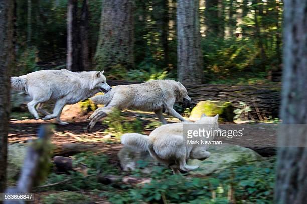 white wolf running - gruppo di animali foto e immagini stock