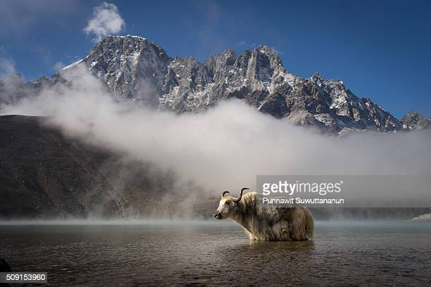 white yak in gokyo lake, everest region - yak stock pictures, royalty-free photos & images
