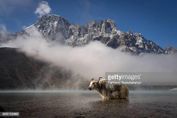 White yak in Gokyo lake, Everest region