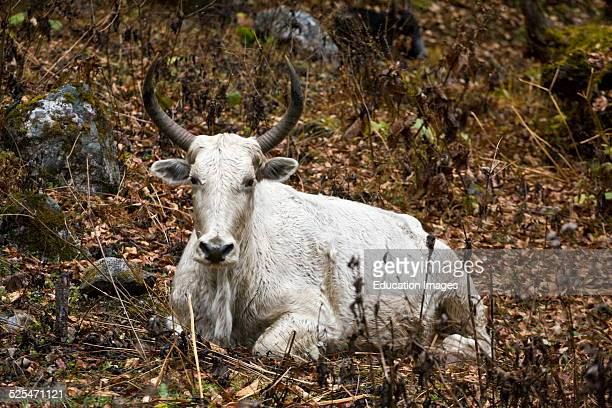 A White Yak On The Around Manaslu Trek Nupri Region Nepal
