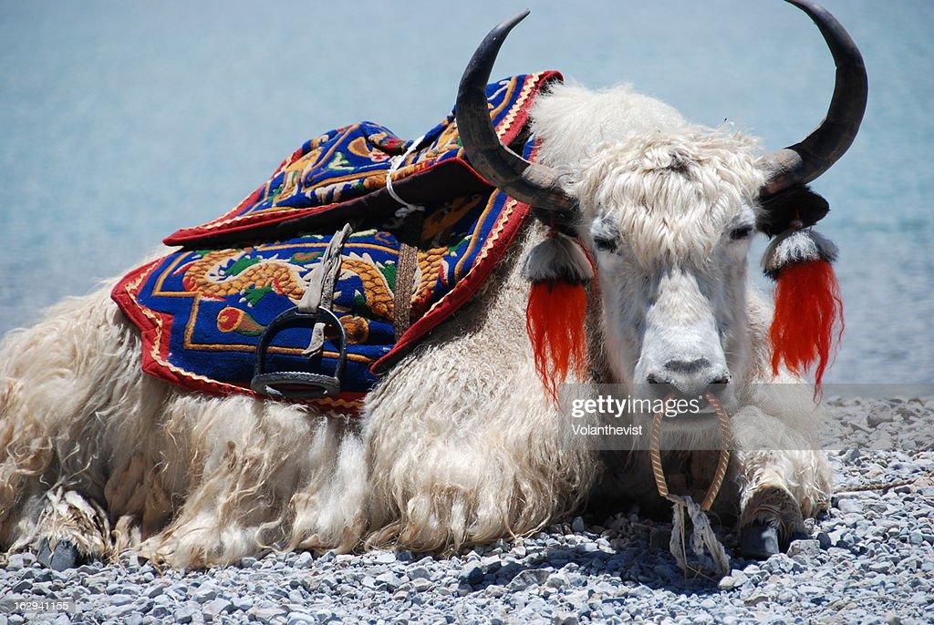 White Yak sitting at Yamdrok lake in Tibet : Stock Photo