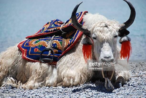 White Yak sitting at Yamdrok lake in Tibet