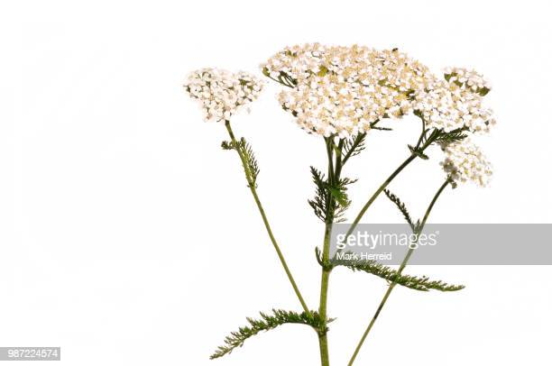 white yarrow wildflower - yarrow stock pictures, royalty-free photos & images