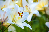 White yellow lilies at sunset in the garden
