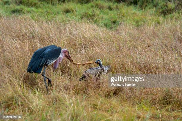 White-backed Vulture and a marabou stork fighting over a piece of a wildebeest killed by a spotted hyena in the Masai Mara National Reserve in Kenya.