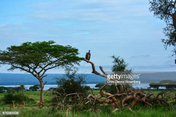 white-backed vulture (gyps africanus). - treetop stock pictures, royalty-free photos & images