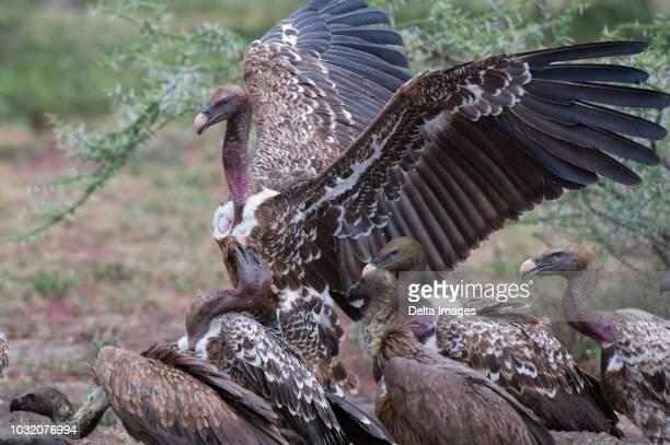white-backed vultures (gyps africanus) on a carcass, ndutu, ngorongoro conservation area, serengeti, tanzania - ngorongoro conservation area stock pictures, royalty-free photos & images