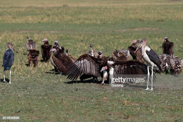 Whitebacked Vultures on a kill Masai Mara game reserve Kenya