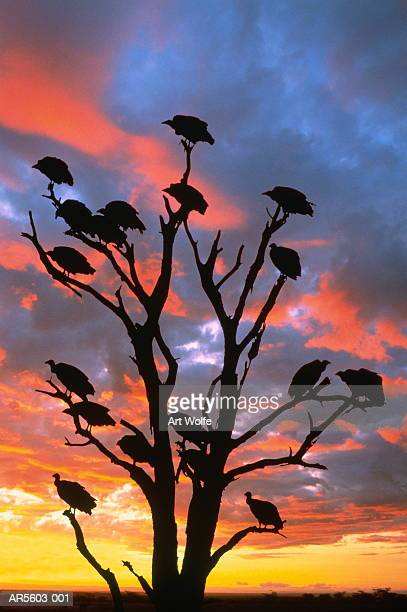 White-backed vultures (Gyps africanus), sunset (Composite)