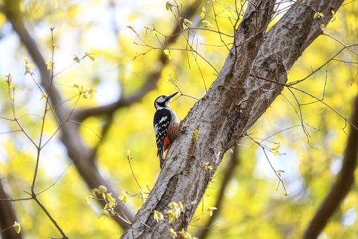 White-backed Woodpecker - gettyimageskorea