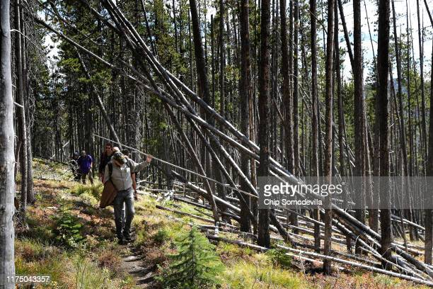 Whitebark Pine Ecosystem Foundation Director Robert Mangold walks past fallen lodgepole pine trees during a guided hike into the mountains of the...