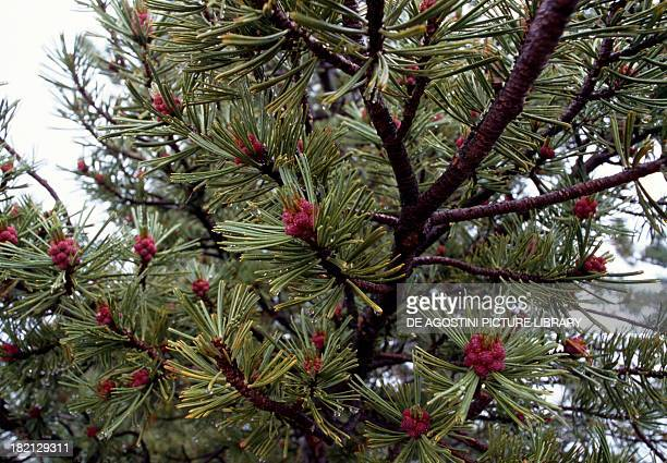 Whitebark Pine Pitch Pine Scrub Pine or Creeping Pine Pinaceae Alberta Canada Detail