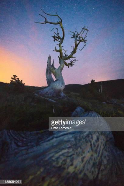 whitebark pine trees sunset