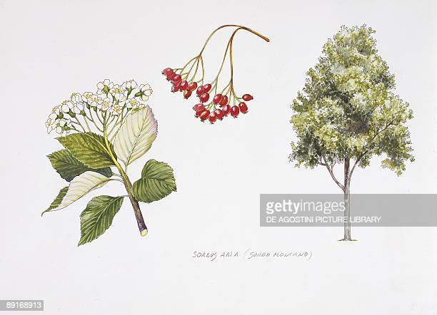 Whitebeam plant with flower foliage and fruit illustration