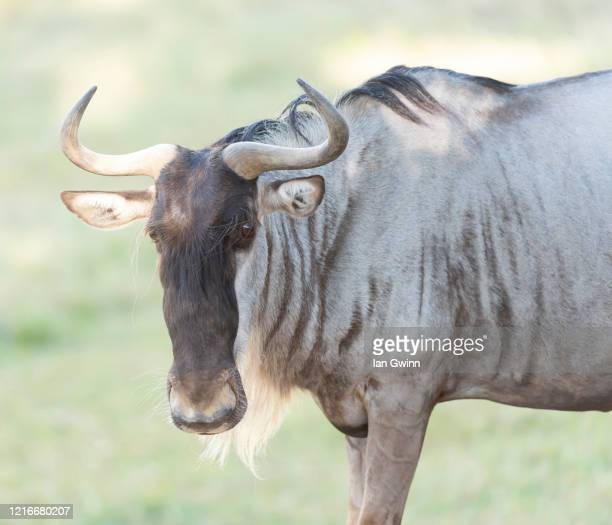 white-bearded wildebeest - ian gwinn stockfoto's en -beelden
