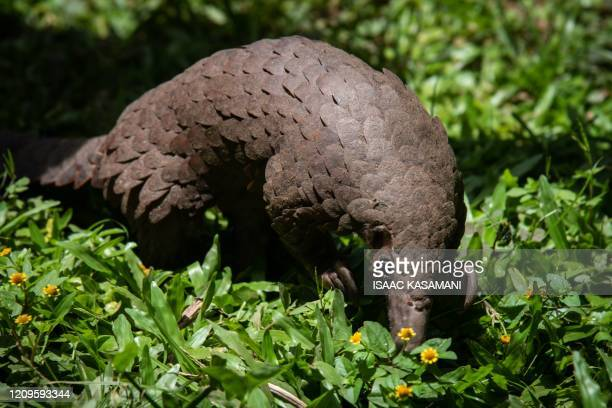 A whitebellied pangolin which was rescued from local animal traffickers is seen at the Uganda Wildlife Authority office in Kampala Uganda on April 9...