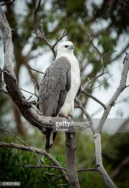 Whitebellied sea eagle Haliaeetus leucogaster perched in dead tree Coles Bay Tasmania Australia