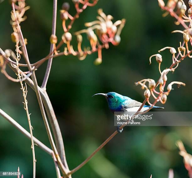 White-bellied Sunbird, Cinnyris talatala, Aloe Farm, Hartbeespoort, South Africa.
