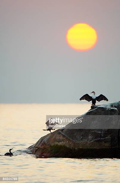 white-breasted cormorant, lake malawi, malawi - haltere stock-fotos und bilder