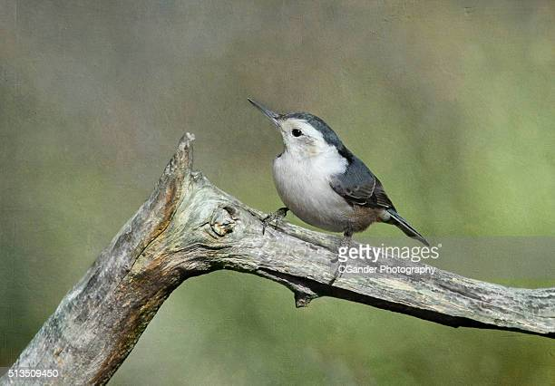 White-Breasted Nuthatch Bird