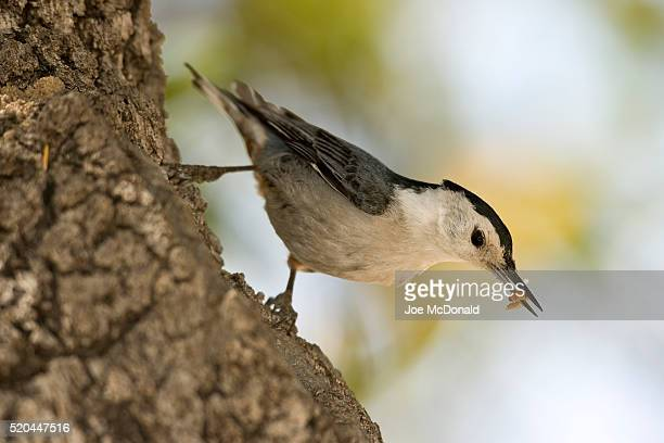 White-breasted Nuthatch carrying a waxworm