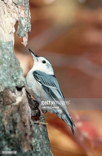 White-breasted Nuthatch on Tree Trunk Side