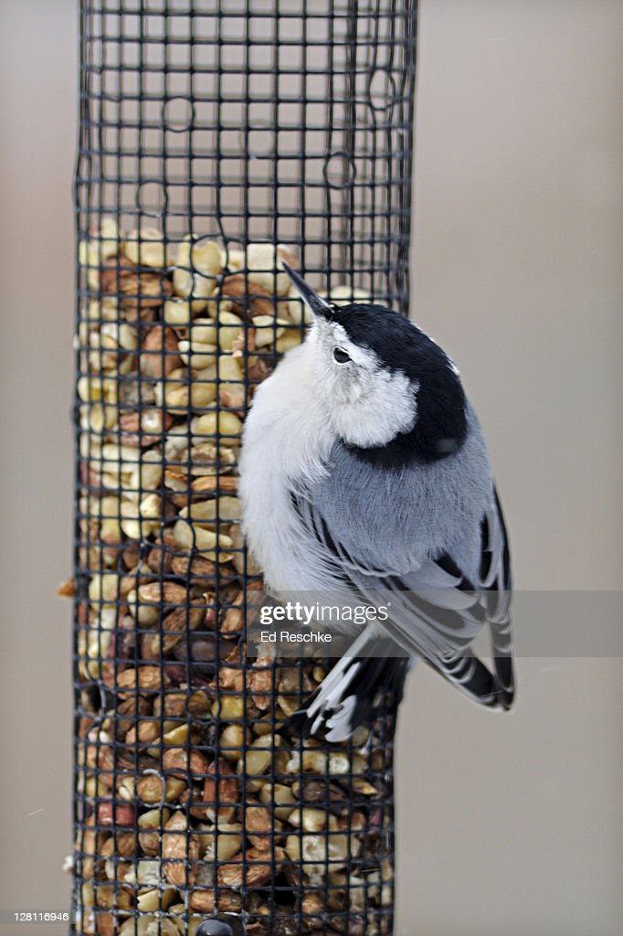 White-breasted Nuthatch, Sitta carolinensis, on a peanut feeder. Frequently seen around bird feeders and likes suet, peanuts and a variety of seeds. Michigan. USA : Stock Photo